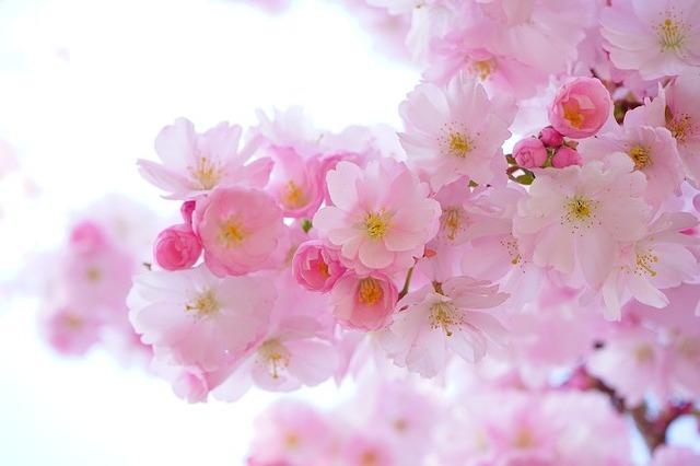 あや桜盆栽さらに開花しました♪ 楽天アフィリの改定とクリックされるコツのお話
