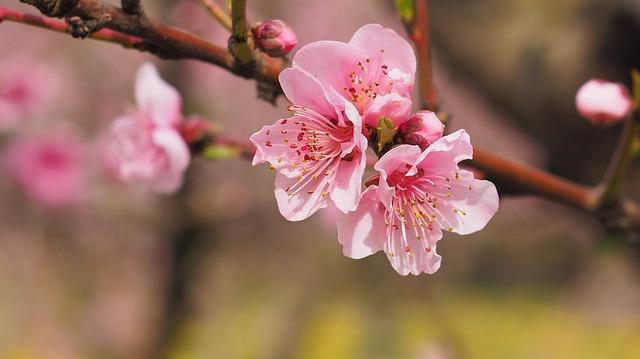 お店の桜が咲きました♪  楽天Amazon Yahoo!で桜って売ってるの?
